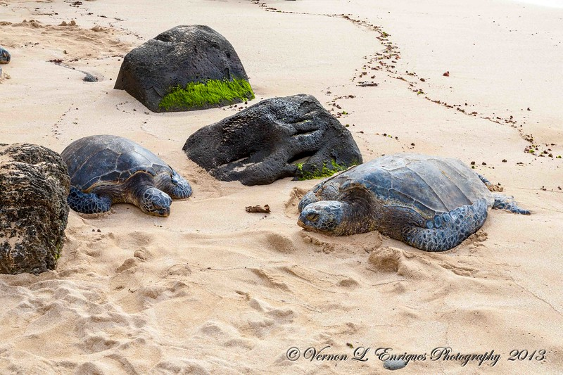 Haleiwa / Rainy day 2.22.13  Honu / Our Turtles
