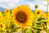 Sunflower Connection Haleiwa, Hawaii