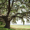 Big, old oak tree on Parris Island.