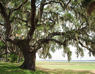 Oak trees on USMC Parris Island, Jul 2010