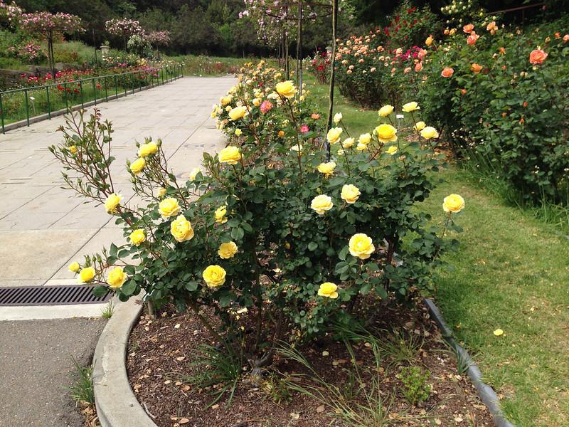 Oakland Rose Garden <br /> April 2014<br /> Oakland Rose Garden 2014-04-21 at 14-13-31