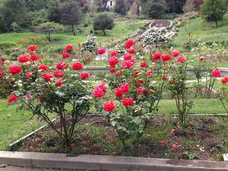 Oakland Rose Garden <br /> April 2014<br /> Oakland Rose Garden 2014-04-21 at 14-13-52