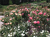 Oakland Rose Garden <br /> April 2014<br /> Oakland Rose Garden 2014-04-21 at 14-22-54
