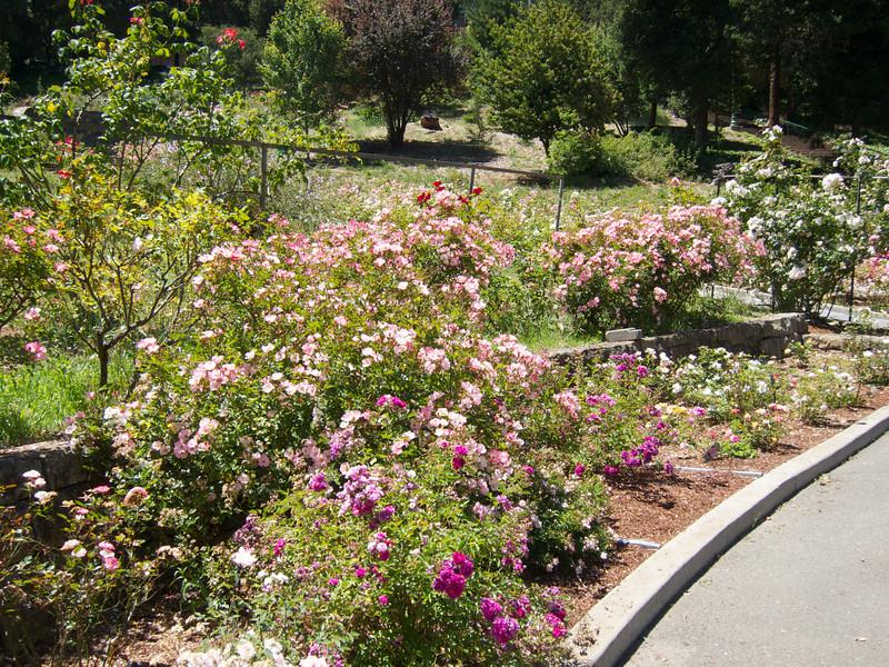 Oakland Roses in Bloom<br /> Oakland Rose Garden 2012-06-08 at 13-59-56