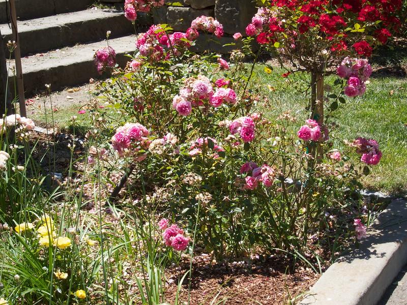 Oakland Roses in Bloom<br /> Oakland Rose Garden 2012-06-08 at 13-59-32