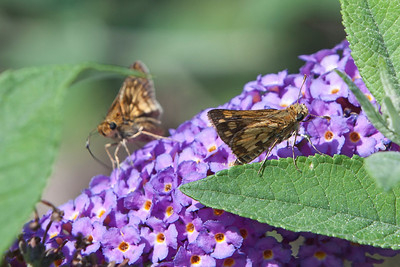 Moths Like Butterfly Bushes, Too!