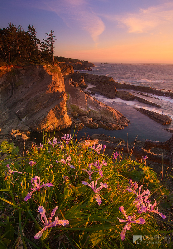 """Cape Arago Irises""
