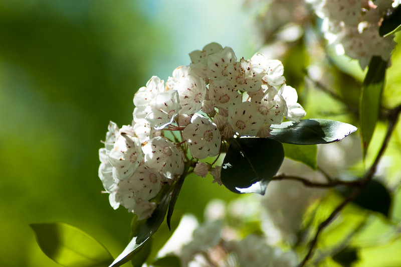 The lovely mountain laurel blooms in profusion  around the entrance to Stumphouse Tunnel.