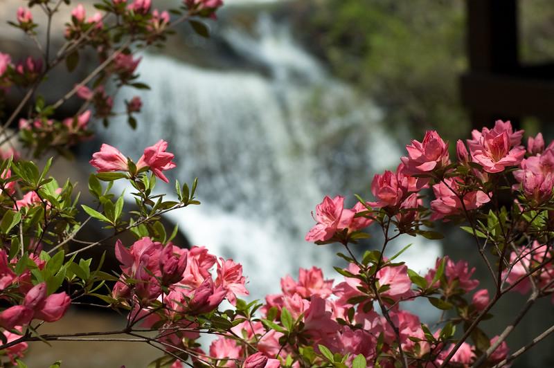 Flowers at Chau Ram Falls05