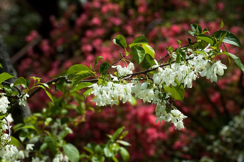 Azaleas and Dogwoods at Oconee County's Chau Ram Park