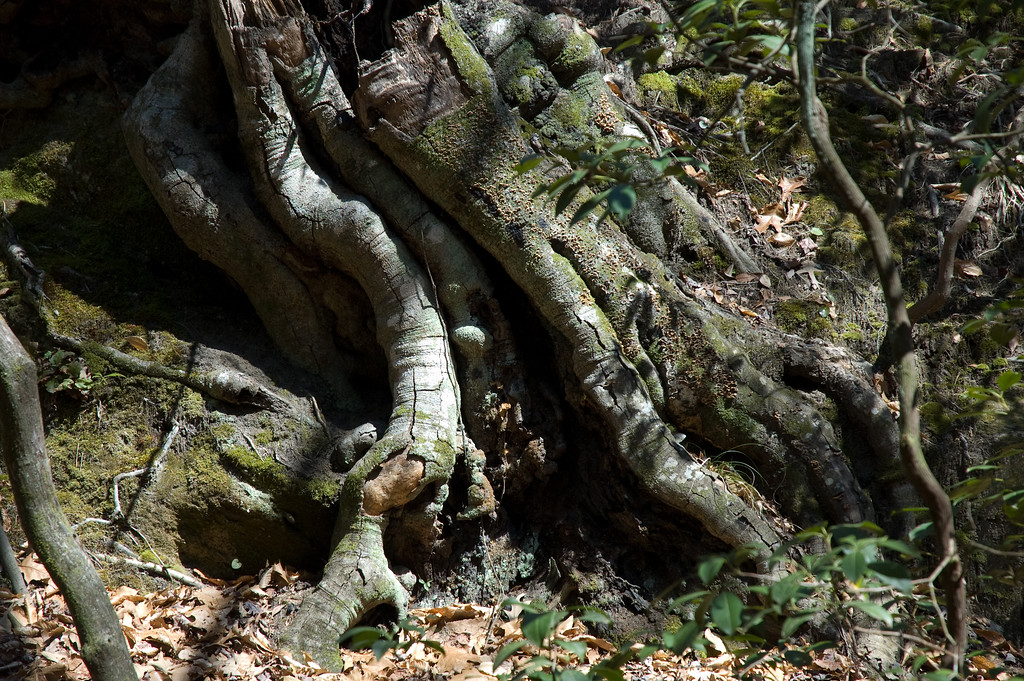 Exposed tree root on the Oconee Bell trail at Jocassee State Park