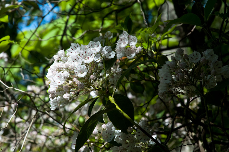 Mountain Laurel near Yellow Branch Waterfall