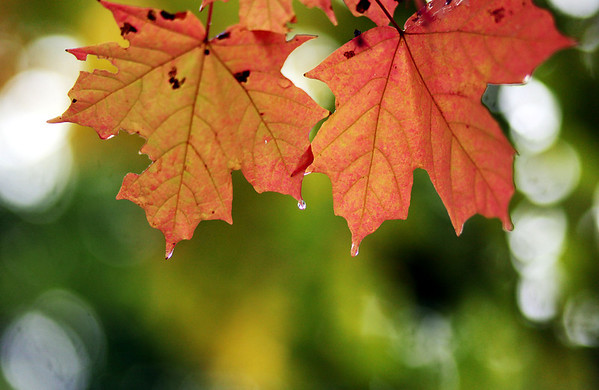 Raindrops fall from maple leaves in Effingham following two days of overcast weather to herald in October.