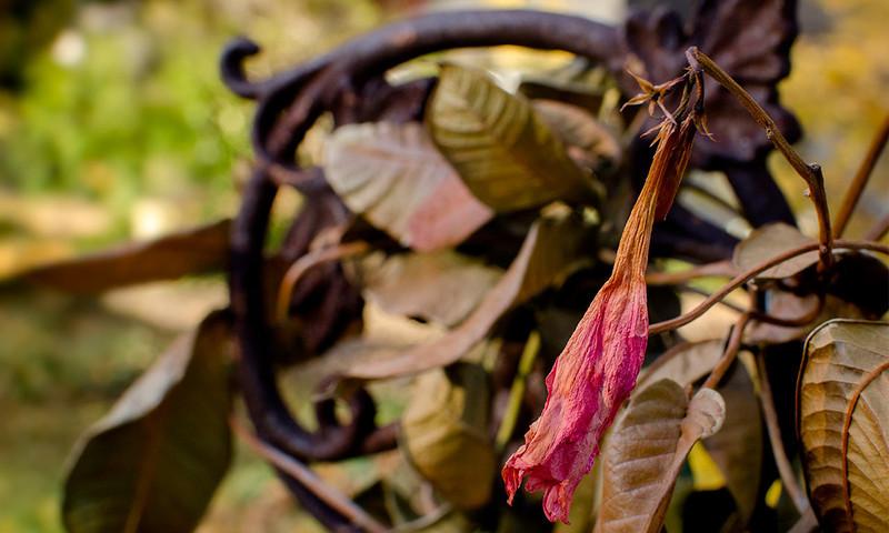 Dried Mandevilla - 1280x768 pixels