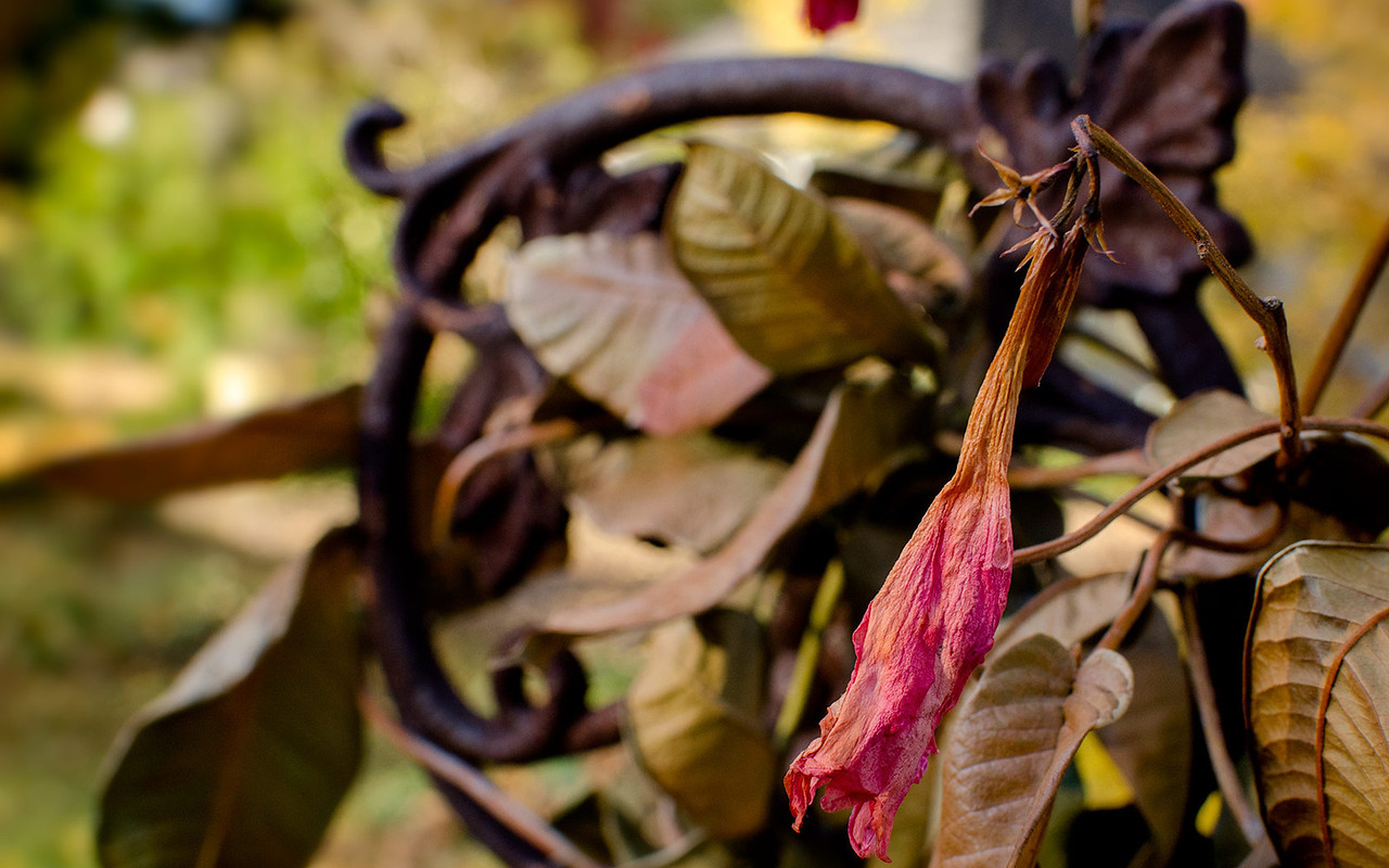 Dried Mandevilla - 1680x1050 pixels