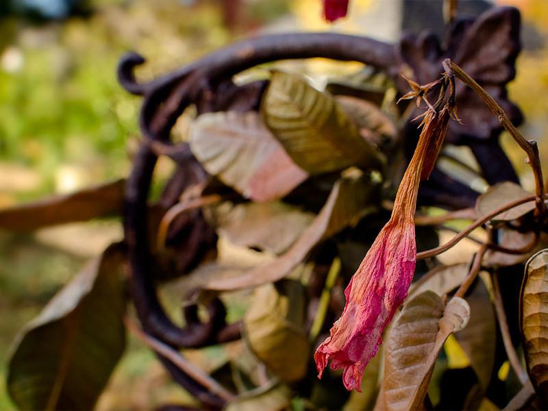 Dried Mandevilla - 1024x768 pixels