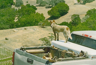Vineyard Dog
