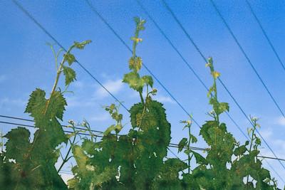 Vine Symphony