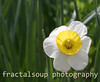 White and Yellow Daffodil on Green Background
