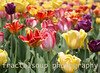 Bright Tulips in a Tulip Garden