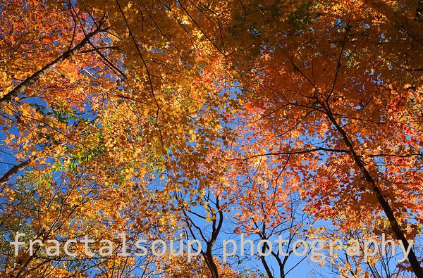 Brilliant Autumn Canopy Colors