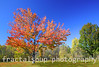 Vivid Maple Tree against a blue sky