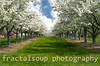 Grass Lane Lined with Apple Trees in Bloom