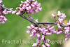 Flowering Redbud Branch on Green Background