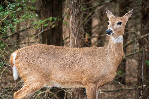 Young Doe at Chickasaw National Recreation Area, Oklahoma