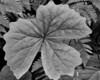 Leaf-Sol-Duc-Trail-07-2011