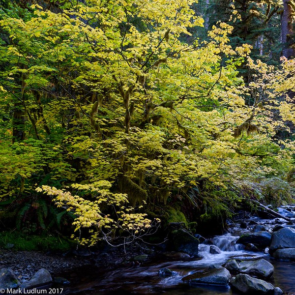 Sol Duc River Maple 10-2017