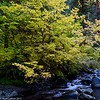 Sol Duc River Maple 10-2017