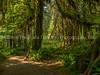 Wandering The Hoh Rainforest