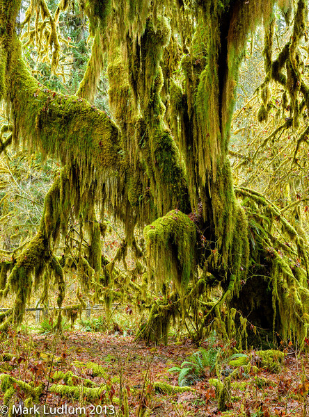 Mossy Maple Hoh Rainforest 02-2013