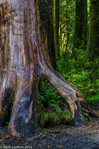 Wet Tree Hoh 04-2014