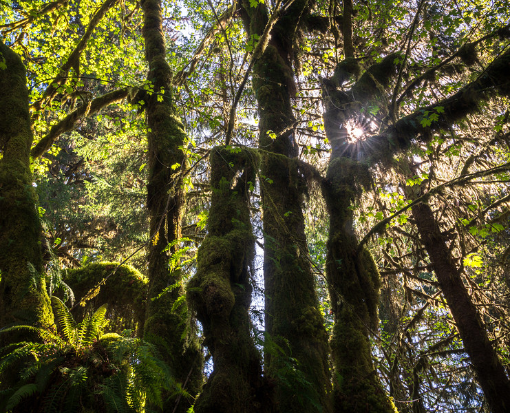Hoh Rainforest Spruce Loop Trail
