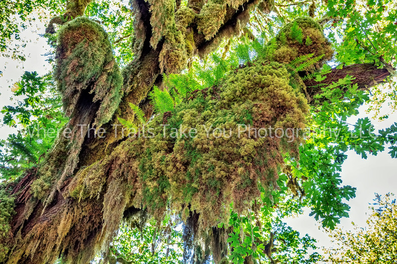146. Licorice Ferns And Big Leaf Maple