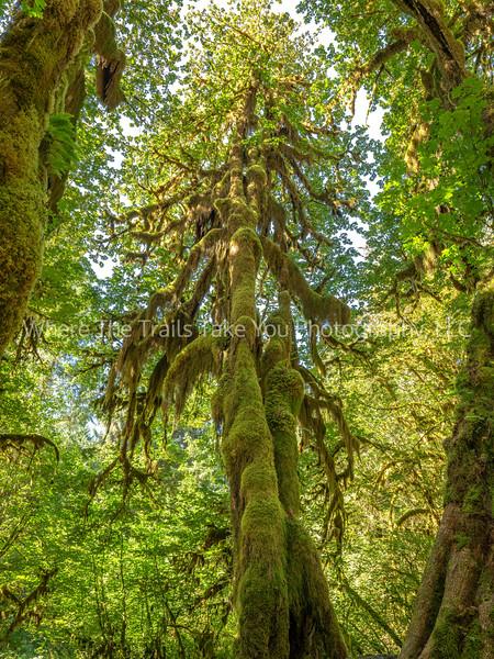 67.  A Tall Mossy Tree