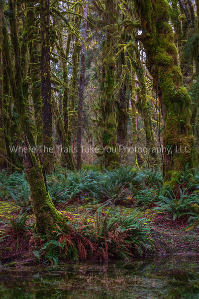 So Many Shades Of Green-Maple Glade Trail-Quinault Rainforest