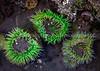 78.  Green Anemones