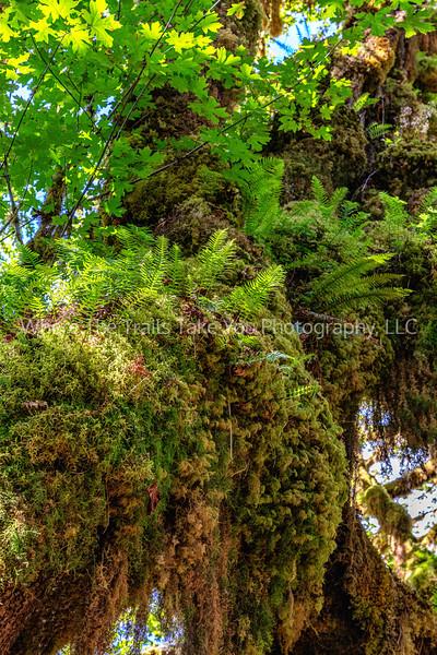 143.  Licorice Ferns And Big Leaf Maple