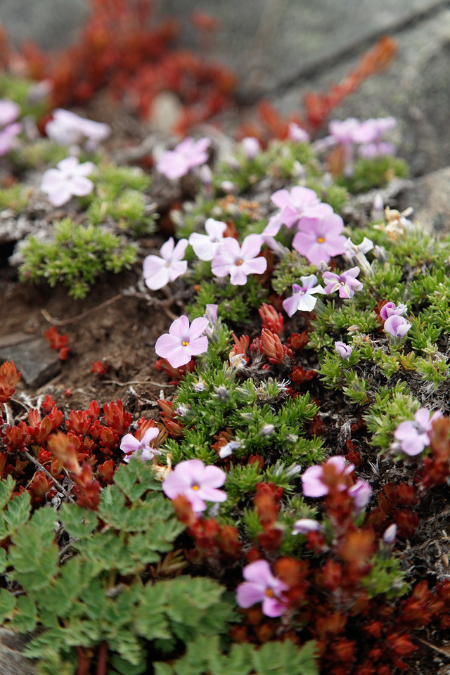Small mountain flowers