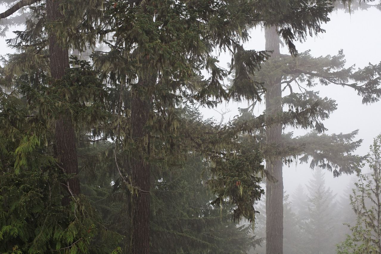 Fog and trees, Hurricane Ridge