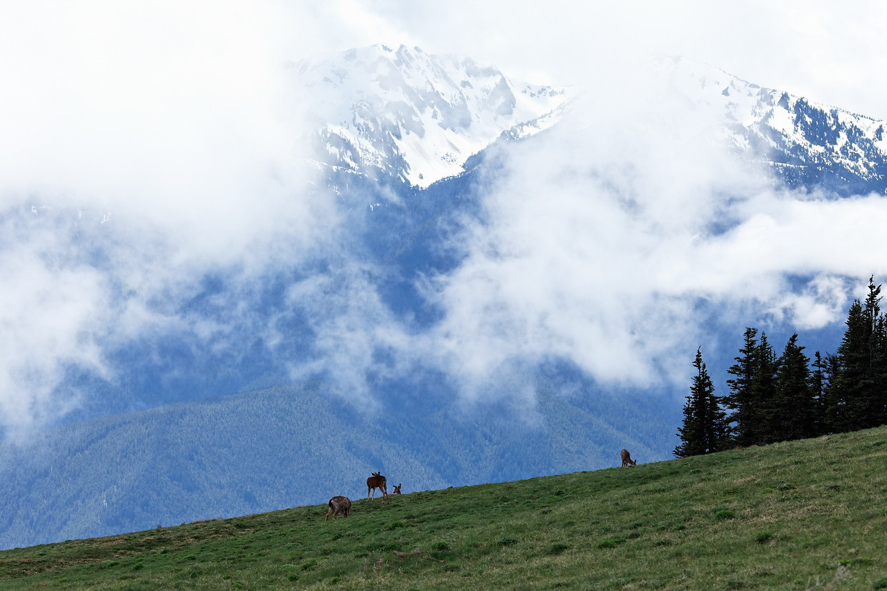 Olympic Mountains and a small herd of deer