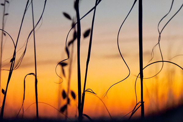 Beach Grasses, sunrise
