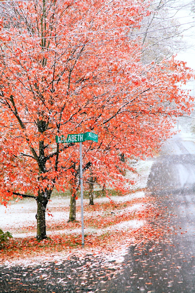 Elizabeth Alley, Lemont.  Maple foliage and snow. October 29, 2011.