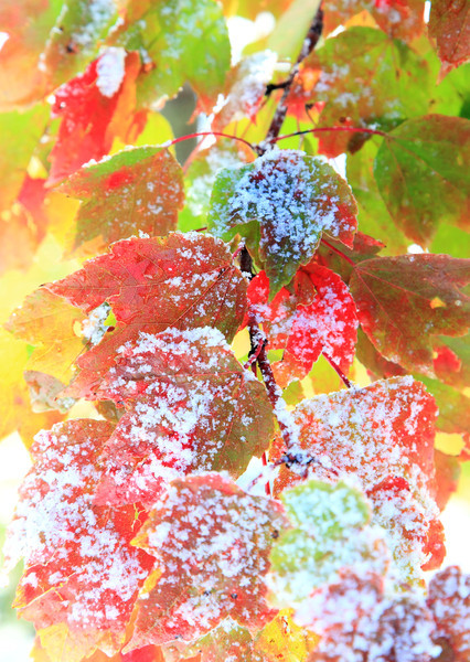 Snow on red maple leaves in my yard. October 30, 2011