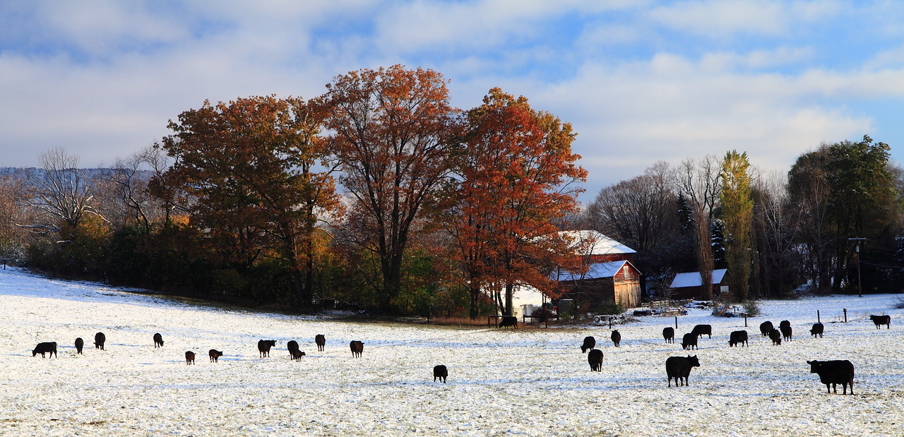 Black cows, white snow, red leaves, blue sky.  October 30, 2011. Linden Hall, PA.