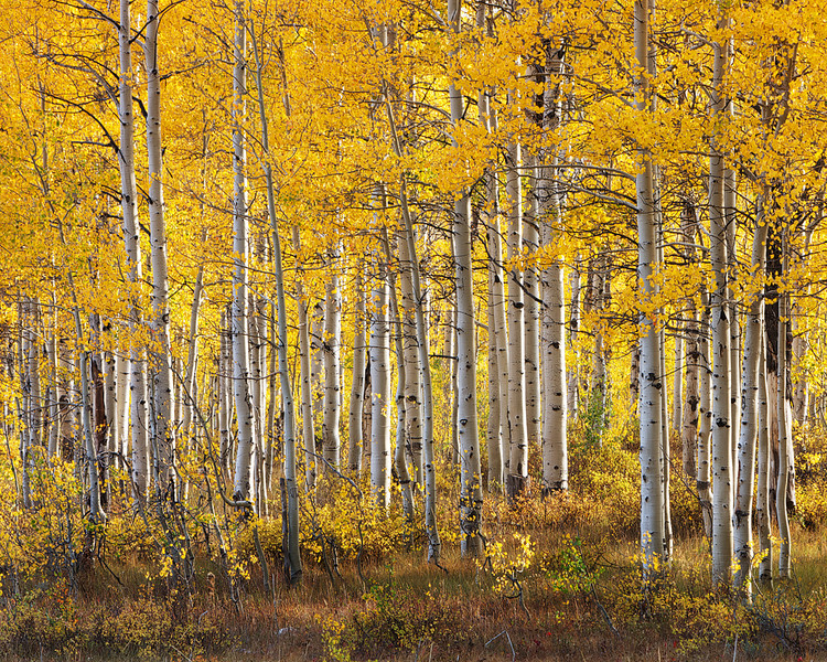 Deer Valley Aspens