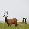 Lunchtime Elk